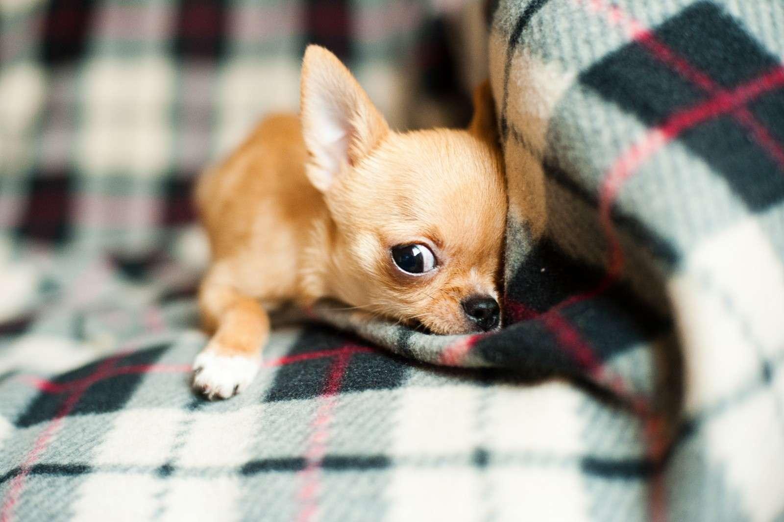 chihuahua-puppy (1)