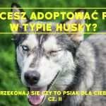 Chcesz adoptować psa w typie husky? Przekonaj się czy to psiak dla Ciebie! cz.II