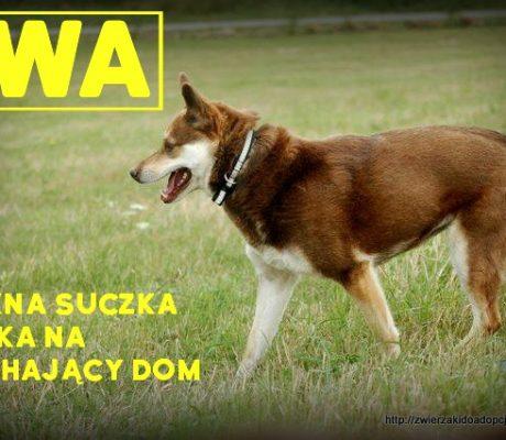 Iwa - suczka