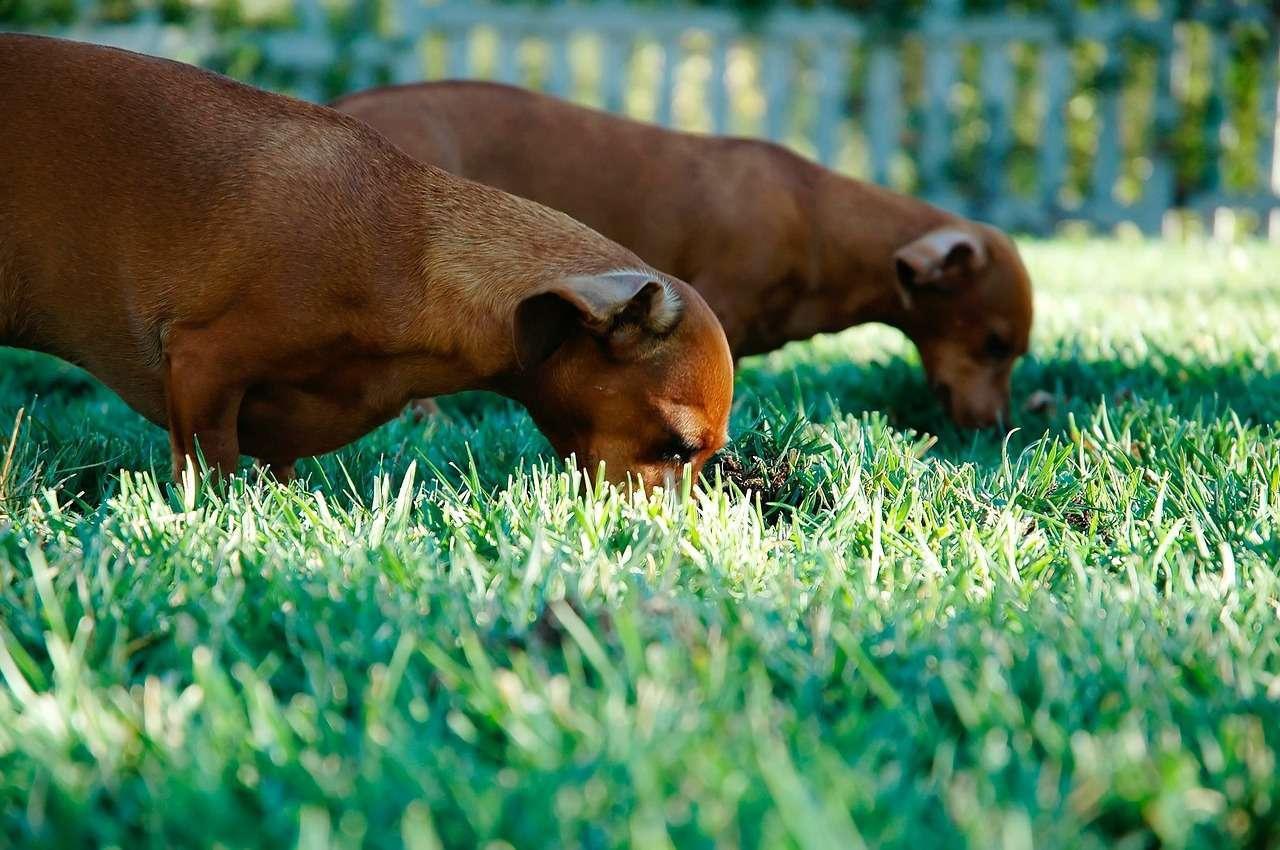 sausage-dogs-336525_1280