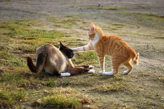 walka kotów