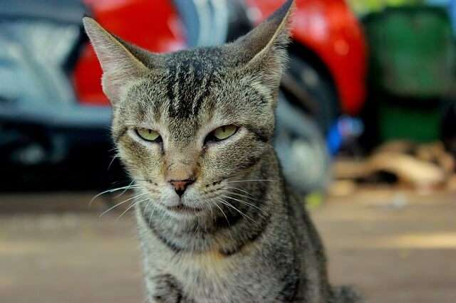 kot zły