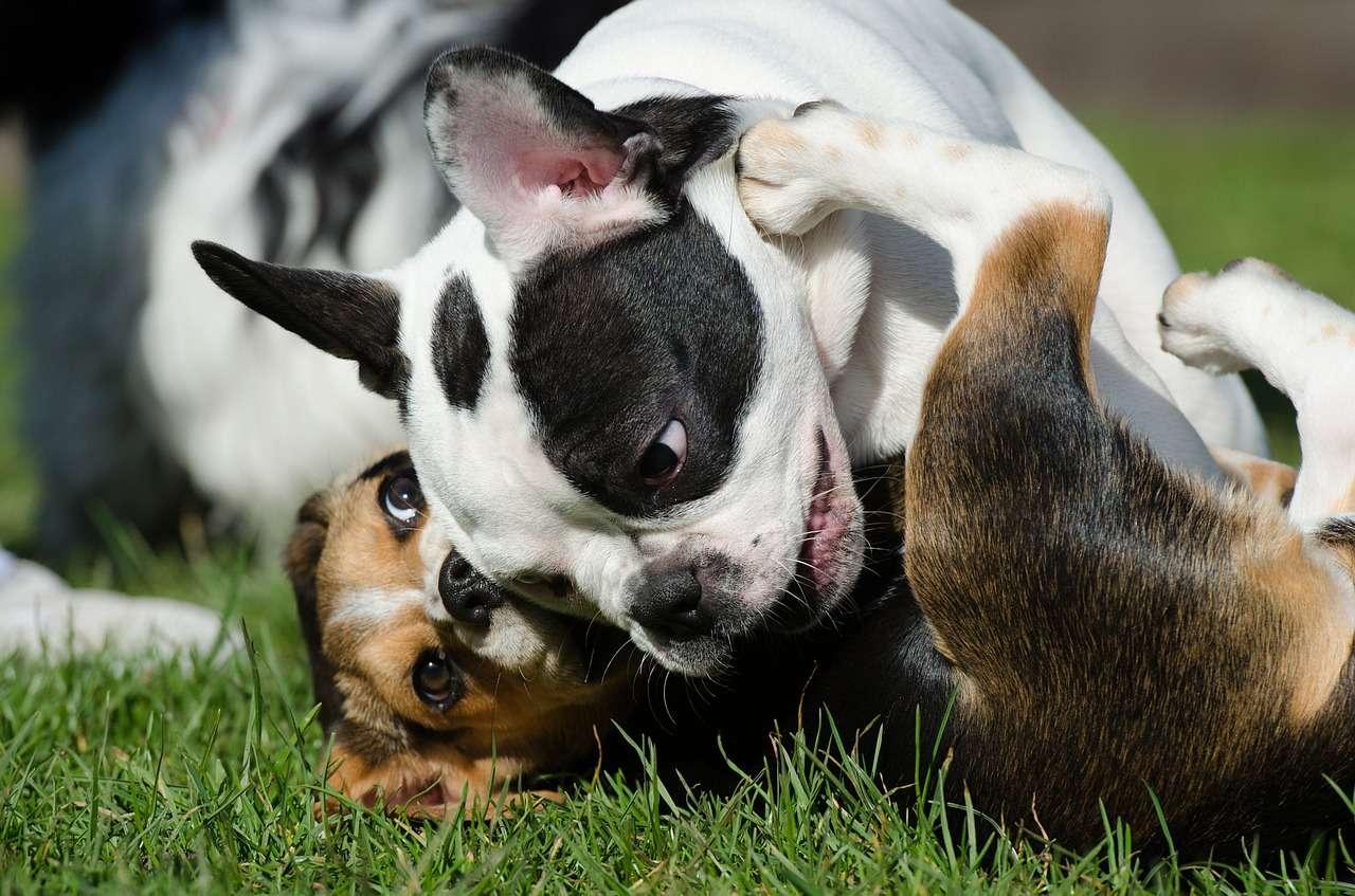 psy socjalizacja