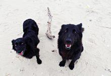 adopcja dorosłych psów