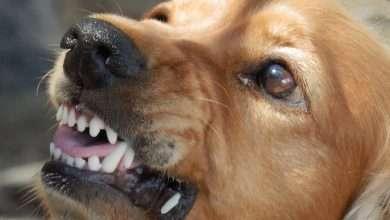 wścieklizna u psa