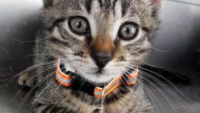 kot do adopcji