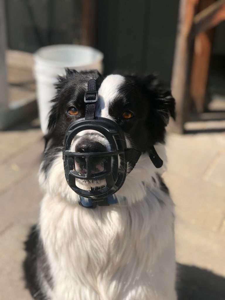 pies w kagańcu