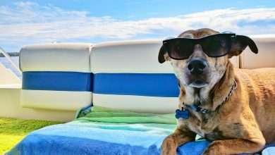 pies leżący na ręczniku w okularach, chłodzenie psa w upały