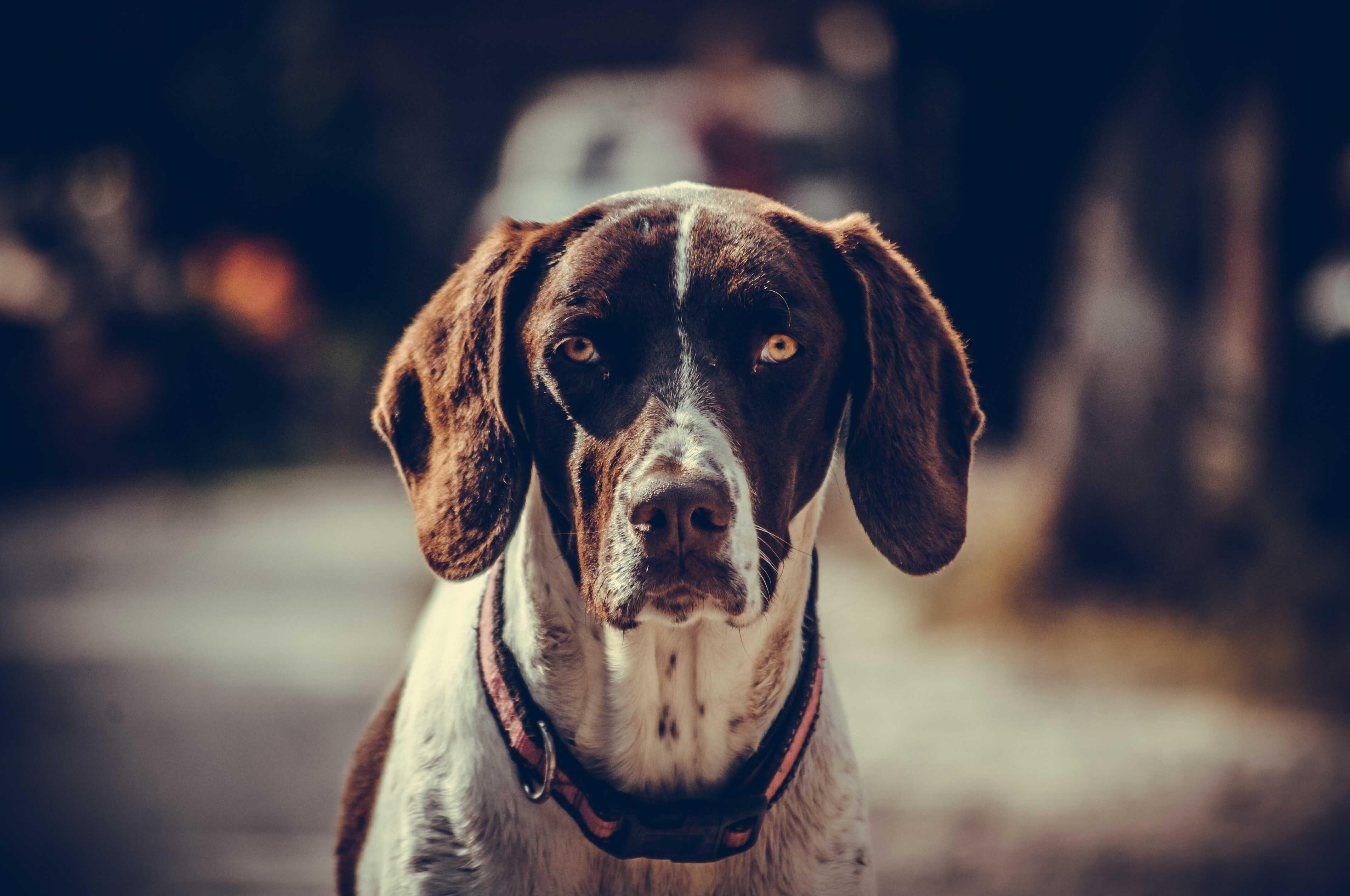 zaginął pies - smutny pies