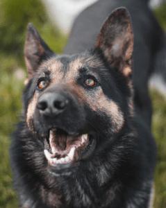 uśmiechnięty pies w typie owczarka niemeickiego