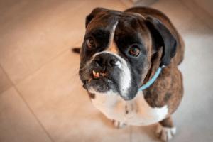 szczoteczka do zębów dla psa - pies z zębem na wierzchu