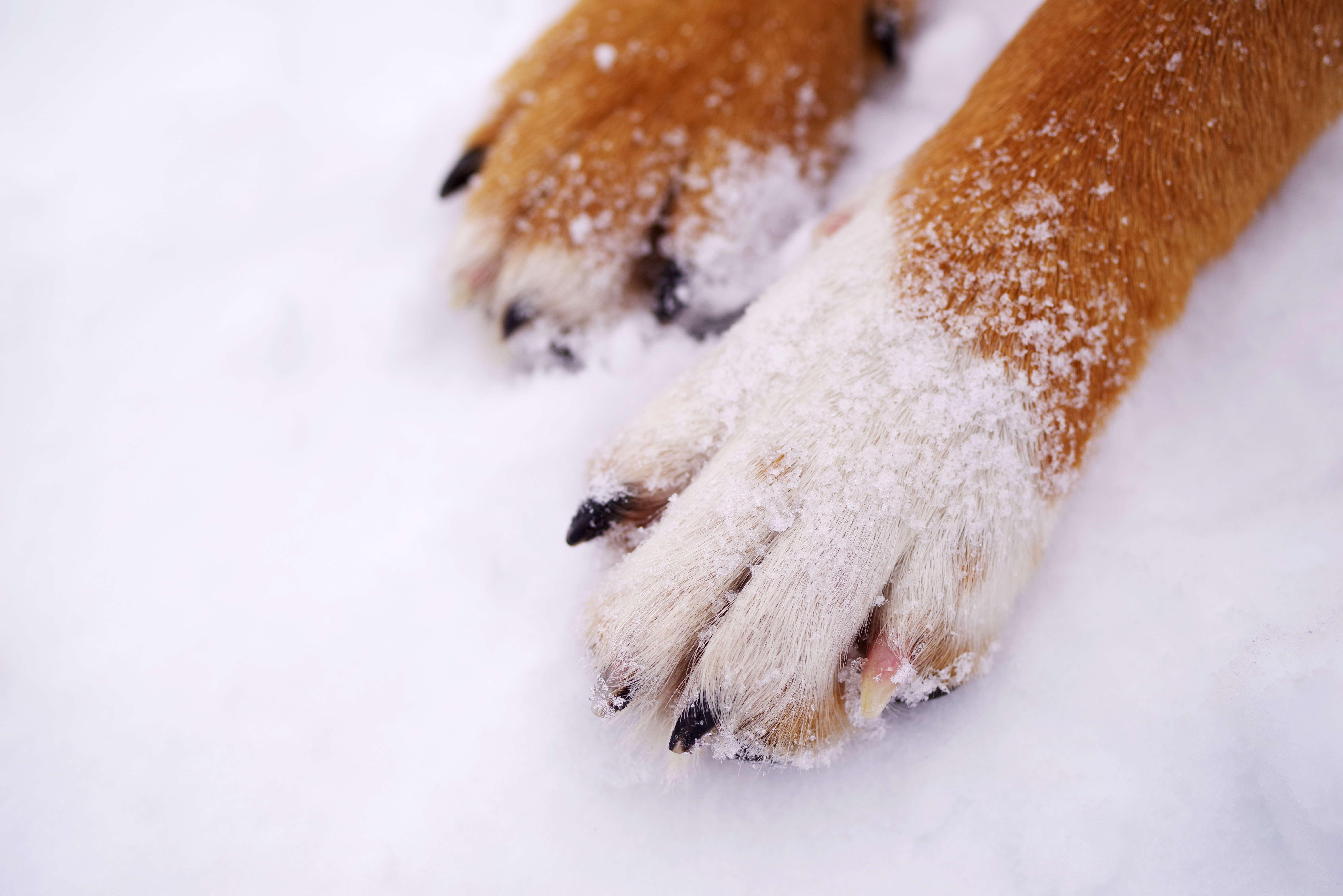 psie łapki zimą na śniegu