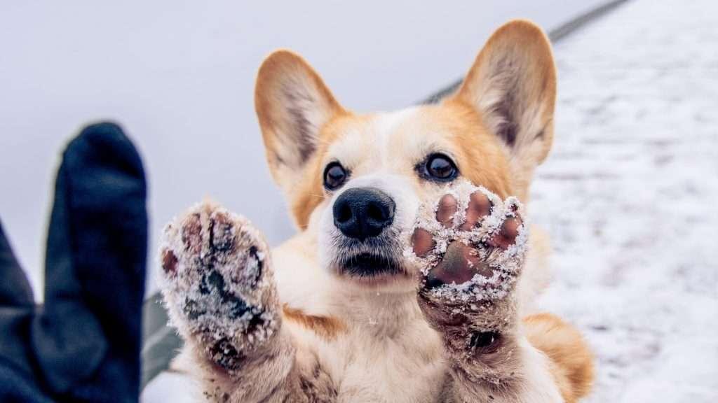 psie łapki zimą