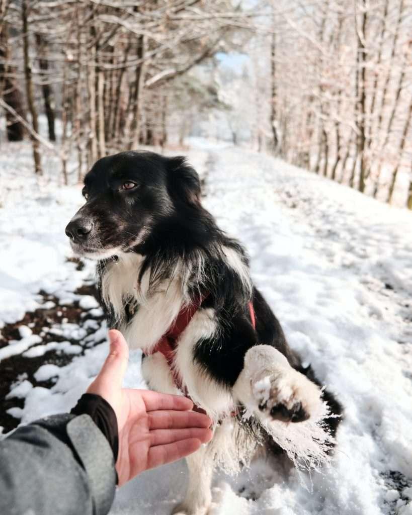 pies w lesie zimą daje łapę właścicielowi