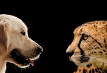 pies i gepard