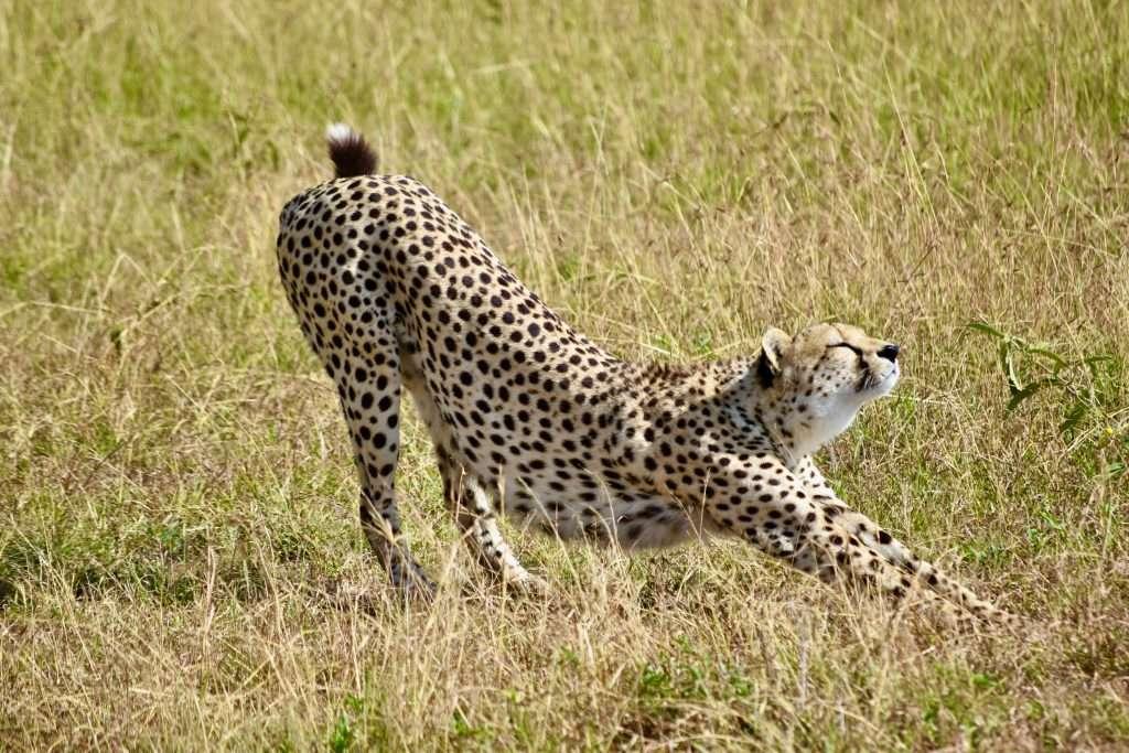 gepard na trawie