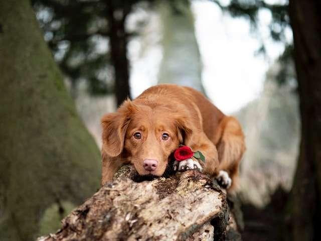 pies z różą