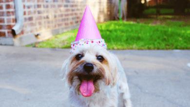 pies w czapeczce