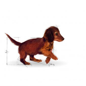 Royal Canin Dachshund Junior 1,5kg