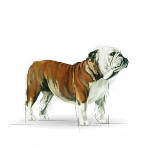 Royal Canin Bulldog Adult 12kg